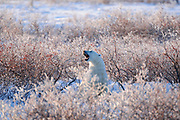 Polar Bear (Ursa maritimus) in shrubs with hoarfrost on sub-arctic Hudson Bay <br />