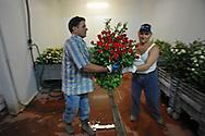 La Selciatella frazione di Aprilia (Latina), 19/07/2010: Lavoratore indiano Sikh del Punjab in una serra di rose - Indian laborer in a greenhouse roses