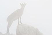 Spanish Ibex (Capra pyrenaica). Female in fog. Torcal de Antequera Natural Park, Málaga province, Spain.