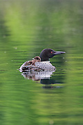 Two baby loons ride on their mother's back for protection.