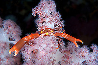 "A Coral Crab says, ""Go Away!""<br /> <br /> Shot in Indonesia"