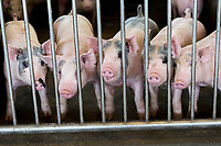 Pigs stand inside a pen inside a UC Davis facility, Thursday, September 28, 2017. Pablo Ross, a stem cell researcher who works with chimeras works with pigs and other animals on creating organs from human stem cells that can be grown in pigs and other livestock. <br /> Photo Brian Baer