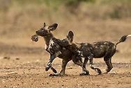 In Mana Pools, two wild dog packs have mastered the technique of hunting baboons. This is a hitherto unobserved behaviour and has only ever been witnessed in Mana Pools in Zimbabwe. The Baboons only provide a light snack, and often only enough to feed the pups, while the adults go hungry. As well a decent feed, the remains can provide the pups with much entertainment. Having witnessed the pack make the kill, I lay quietly on the ground and watched the pups play with the baboon skull for over half an hour. The pups seemed never to tire of the game and, while gruesome, in this picture, the disembodied baboon looks impatient for it all to be over.  <br /><br />Mana Pools, Zimbabwe