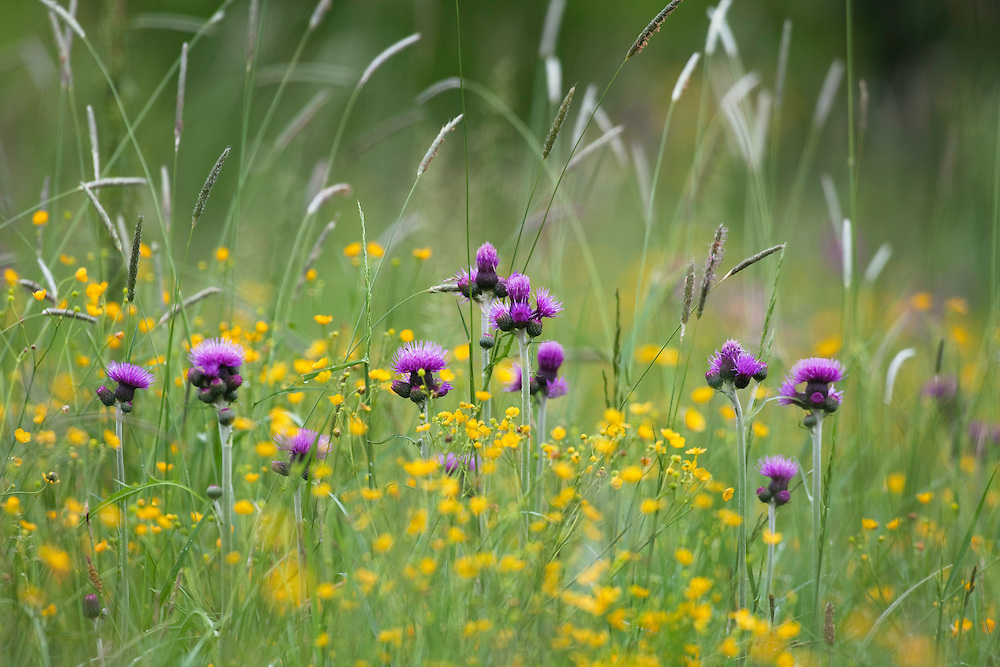 Flowering meadow with thistles, Cirsium rivularis, and buttercup, Ranunculus acris, Poloniny National park, Western Carpathians, Slovakia, Europe