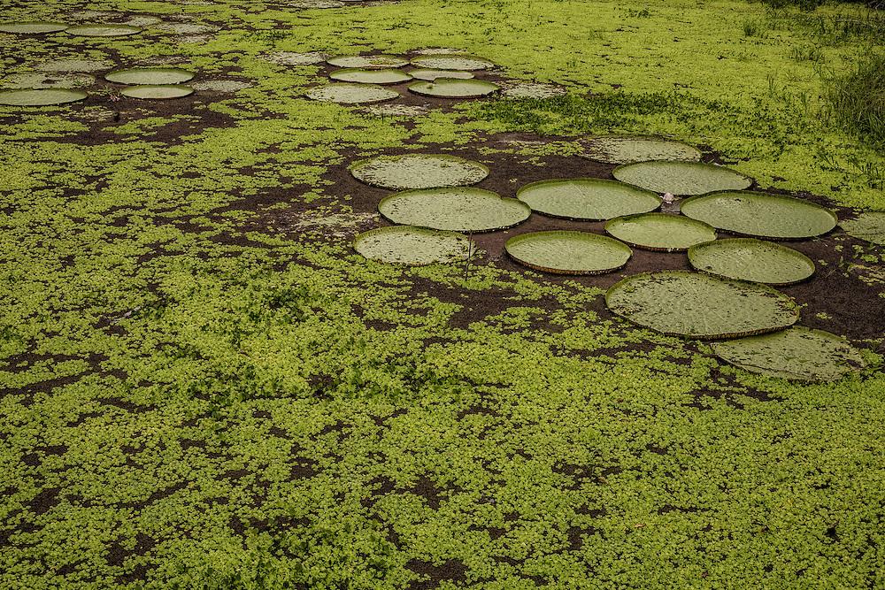 Brazil, Amazonas, rio Negro, Manaus. <br /> <br /> N&eacute;nuphars g&eacute;ants.