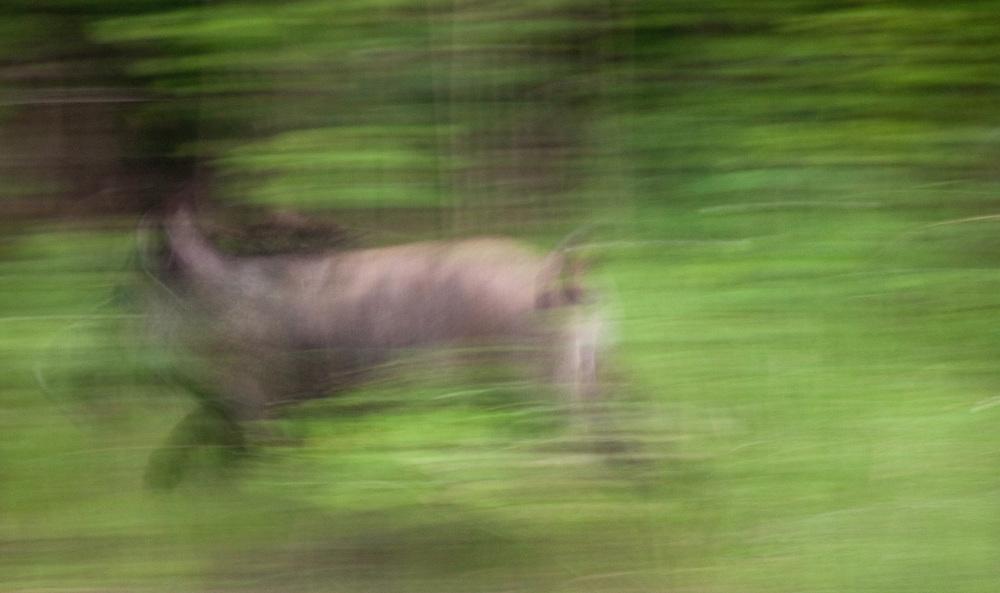 Wild boar running (Sus scrofa), Gornje Podunavlje Special Nature Reserve, Serbia
