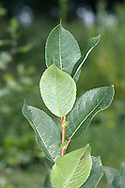 Dark-leaved Willow Salix myrsinifolia (pka S. nigricans) (Salicaceae) HEIGHT to 4m. Branched, shrubby willow. SHOOTS Downy at first, becoming smoother and dull brown with age. LEAVES Ovate, to 7cm long, dark green above but glaucous below; note toothed margin and large stipules. Leaves turn black when dried. REPRODUCTIVE PARTS Males catkins are ovoid and yellow, female catkins are greener. STATUS AND DISTRIBUTION Native, favouring damp, stony and rocky ground. A northern and upland species.