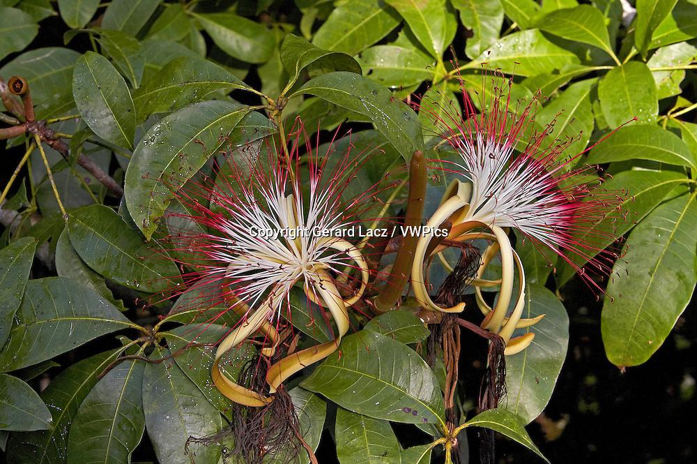 Flower of Tree Called Water Cocoa, Orinoco Delta in Venezuela