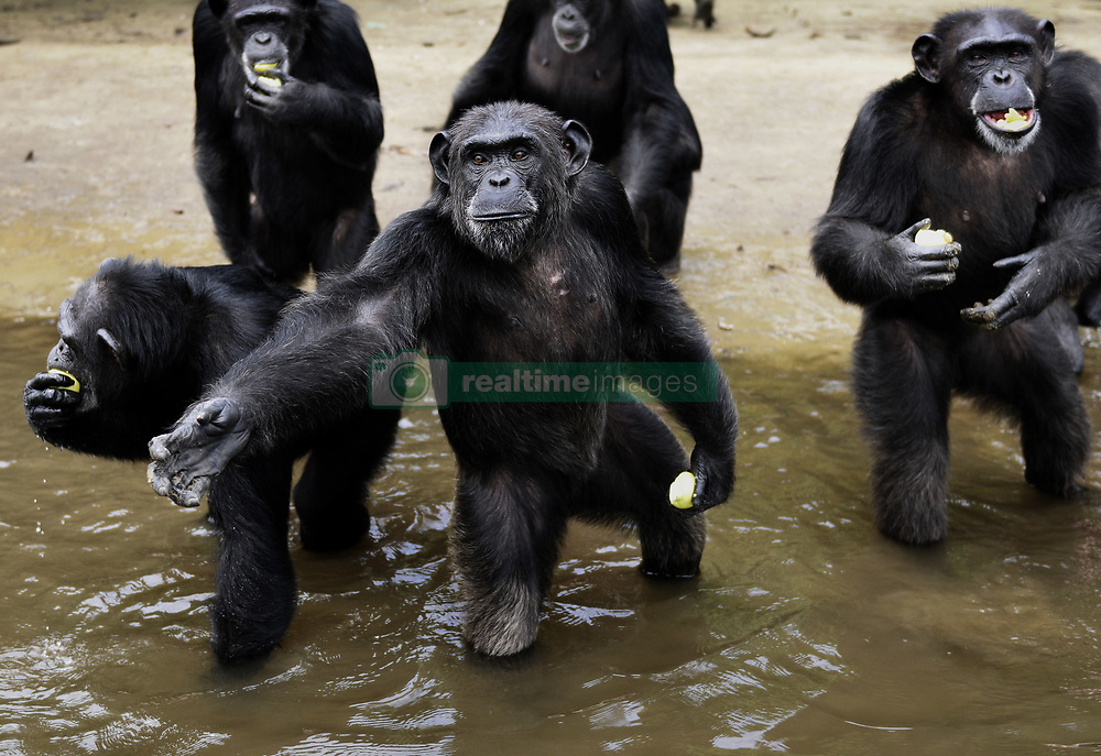 March 9, 2016 - Washington, DC, U.S - HSUS and NYBC came to an agreement recently after years of discussion about the care of research chimps NYBC abandoned in Liberia.  In March 2016, a team from Humane Society of the United States visits Liberia in West Africa to view situation with research chimpanzees abandoned by New York Blood Center, which stopped all funding for food and water and also refused to pay for their caregivers who used their own meager finances to continue feeding them. They now live on six islands serving as a sanctuary run by Jenny and Jim Desmond.  The HSUS has stepped in to assist and improve the dire situation in which the chimpanzees were literally left to die if not for the heroic efforts of their original caregivers who had worked for New York Blood Center and were abandoned as well. Photo by Carol Guzy/Freelance for HSUS March 9, 2016 (Credit Image: © Carol Guzy via ZUMA Wire)
