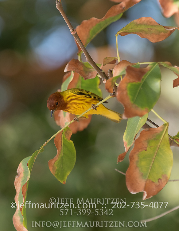A yellow mangrove warbler perches on a tree branch on Iguana Island, Panama.