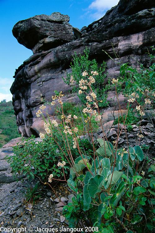 Blooming Begonia grisea growing among rocks, Chapada Diamantina, Brazilian Highlands, State of Bahia, Brazil.