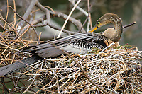 Anhinga, (Anhinga anhinga), sitting on nest, Wakodahatchee Wetlands, Delray Beach, Florida, USA   Photo: Peter Llewellyn