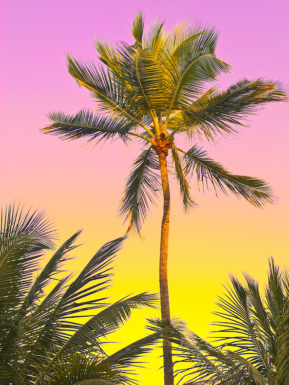 Palms waving against a tropical yellow, chartreuse and soft magenta postcard sky in a slightly pastel rendering with Photshop-adjusted colors reminiscent of the old airbrush-colored. vintage postcards.of Miami Beach that I collect