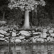 Tree on Housatonic River, Derby, CT