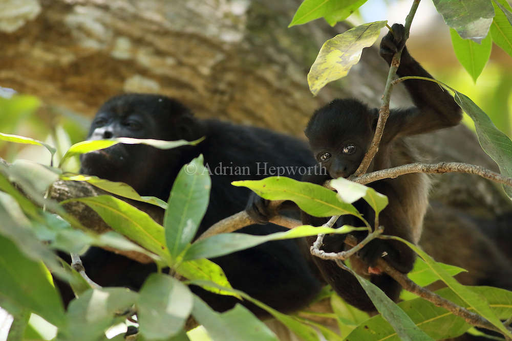 Female and young howler monkeys (Alouatta palliata). Tropical dry forest. Palo Verde National Park, Guanacaste, Costa Rica.