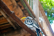 Yellow-billed hornbill (Tockus flavirostris). Or Eastern Yellowbilled hornbill. Hornbills have a long curved bill and long rounded wings. This bird, one of the smallest of the hornbills, can reach over half a metre in height. It is an omnivorous bird, feeding on insects and plant matter. Though it is clumsy in flight, it catches termites on the wing and pursues grasshoppers along the ground. When breeding, the female is walled-up in the nest hole and fed by the male. The yellow-billed hornbill is found throughout the jungles and scrublands of Africa below the Sahara.