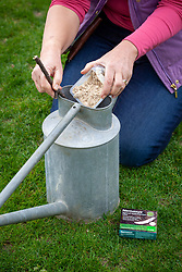 Applying leather jacket killer to a lawn using a watering can