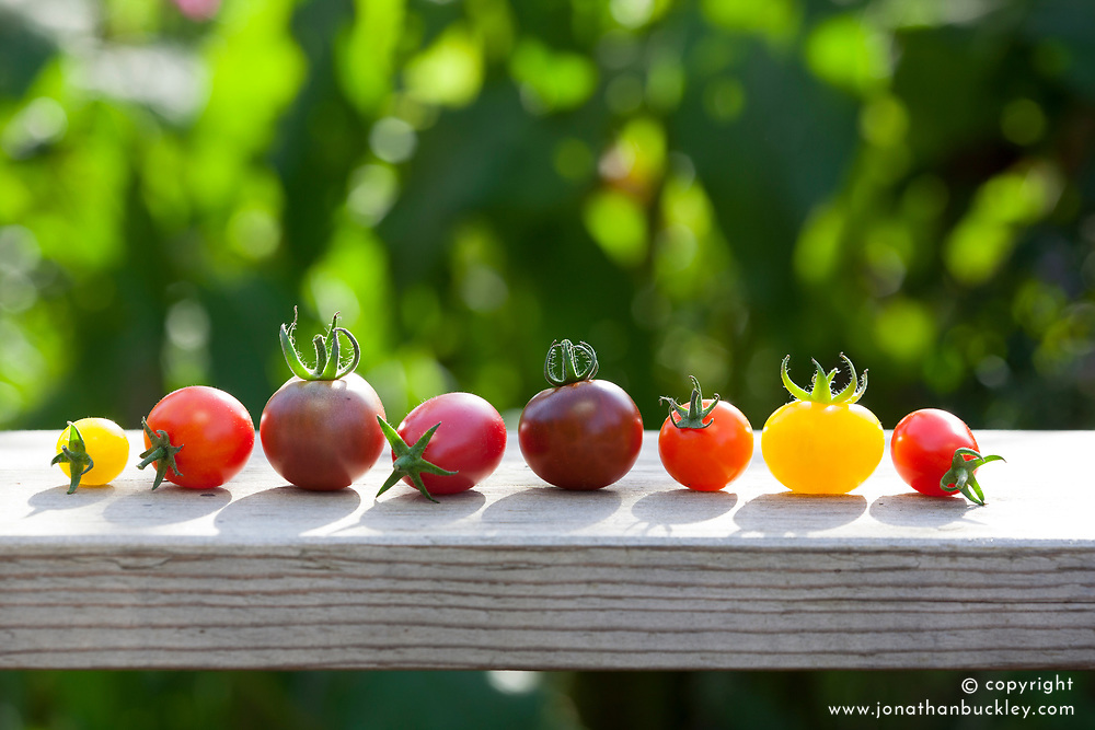 Cherry tomatoes. L to R 'Yellow Currant', 'Isis Candy Cherry', 'Black Berry', 'Pink Drop', 'Brown Berry', 'Orange Berry', 'Blondkopfchen', 'Rosada'