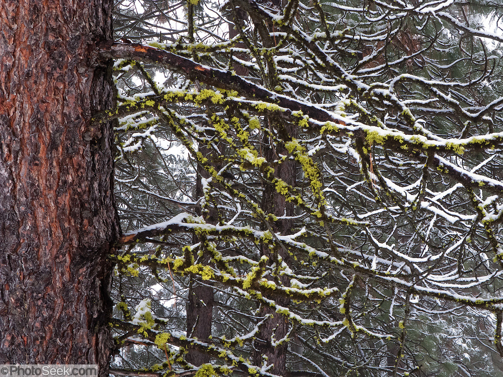 Snow blankets a fractal pattern of tree branches at Leavenworth, Washington, USA.