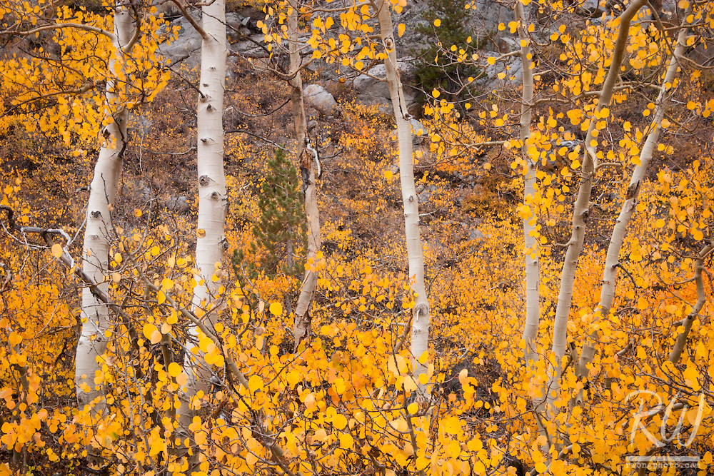 Aspen Fall Color near North Lake, Eastern Sierra, California