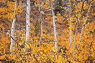 Aspen Fall Color near North Lake, Eastern Sierra, California