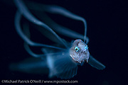 Bony-eared Assfish, Post larval Acanthonus armatus, a deep sea species, photographed offshore Palm Beach, Florida, United States at night in the Gulf Stream current.