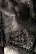 Gorilla, Western Lowland Gorilla (Gorilla gorilla gorilla) .Torso of an adult male gorilla (Silverback). The chest is barely hairy, to the lower body increases the hair growth. Arms and legs are hirsute. Gorillas are the largest and heaviest living primates. There is a pronounced sexual dimorphism in terms of weight. A silverback can outdoors up to 270 kg body weight, in captivity up to 350 kg. The females reach only 70-90 kg body weight. ..Gorilla, Westlicher Flachlandgorilla (Gorilla gorilla gorilla) .Torso eines adulten Gorilla-Mannes (Silberrücken). Die Brust ist kaum behaart, zum Unterkörper hin nimmt der Haarwuchs zu. Arme und Beine sind stark behaart. Gorillas sind die größten und schwersten lebenden Primaten. Es gibt einen ausgeprägten Geschlechtsdimorphismus hinsichtlich des Gewichtes. Ein Silberrücken kann im Freiland bis zu 270 kg wiegen, in Gefangenschaft bis zu 350 kg. Die Weibchen erreichen nur 70-90 Kilogramm Körpergewicht..