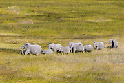 Aerial view of an African elephants herd (Loxodonda africana) walking in tall grass.