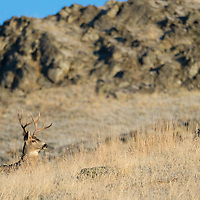 mule deer buck fall rut
