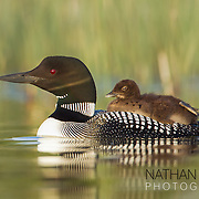 Common loon with chick riding on back;  Minnesota.