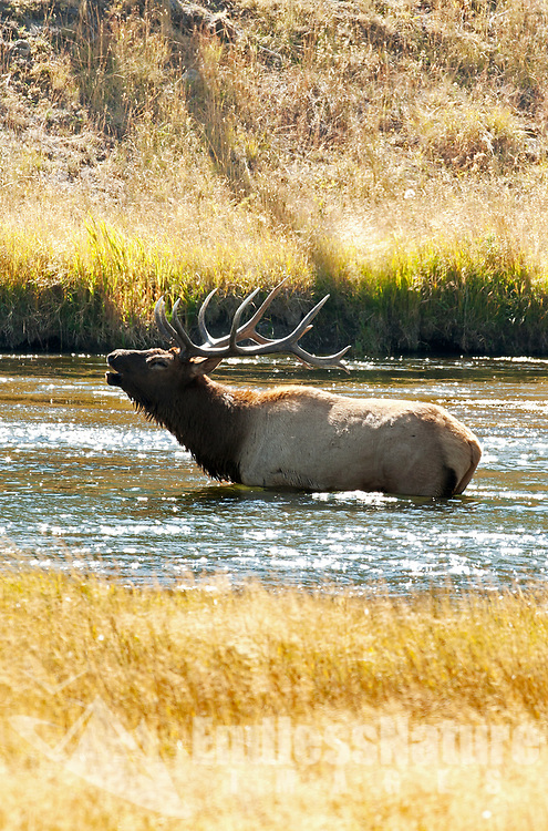 A Bull Elk stands in a river while bugles his presence to the rest of the bulls in the area the rut is on.