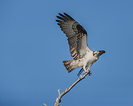 Osprey landing on tip of dead tree, wings up, feathers perfect, © 2007 David A. Ponton
