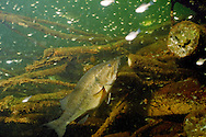 Largemouth Bass feeding on baitfish around fish crib<br /> <br /> ENGBRETSON UNDERWATER PHOTO