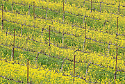 Field mustard (Brassica rapa) blooms in a Napa County vineyard, spring, California