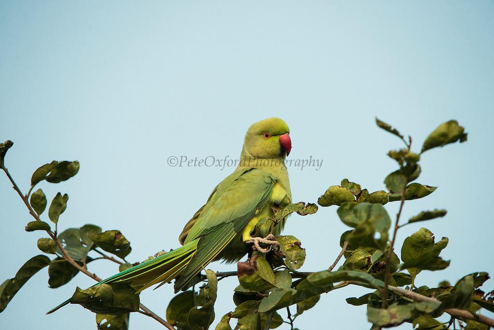 Rose-ringed parakeet (Psittacula krameri manillensis)<br /> Bharatpur National Park <br /> Rajasthan, India<br /> Range: Indian Subcontinent. Feral in Australia, UK and USA