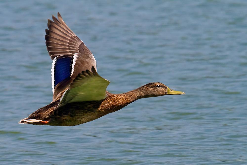Female mallard in flight.