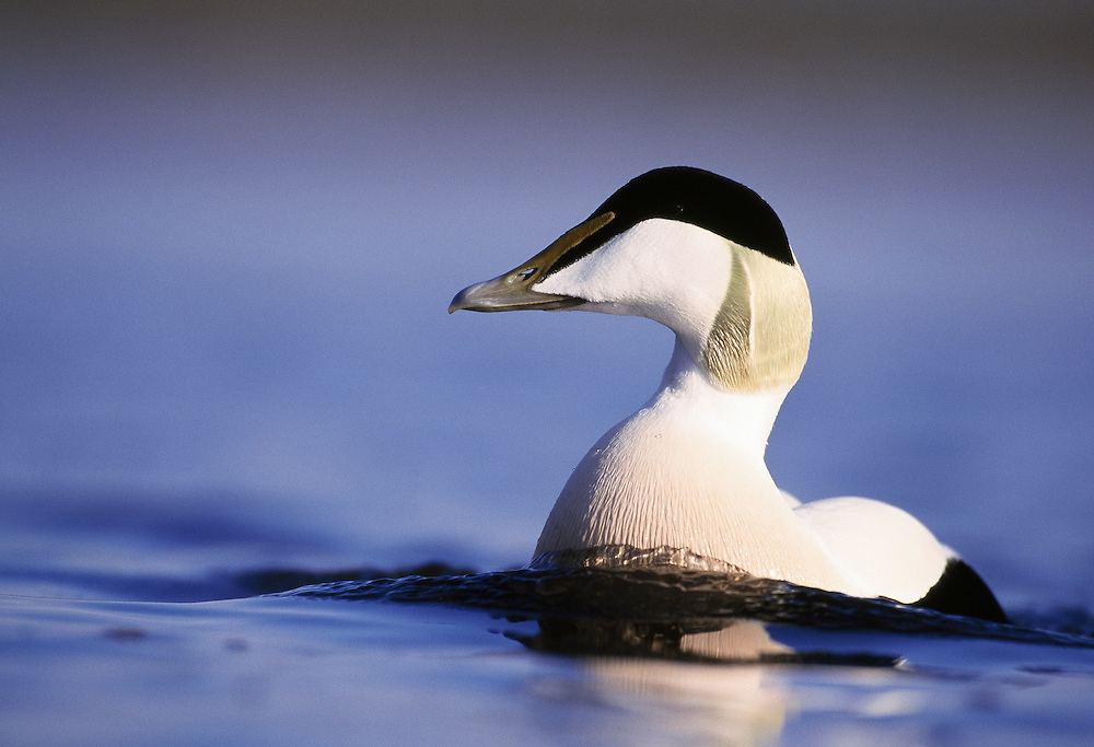 Male eider, swimming towards photographer