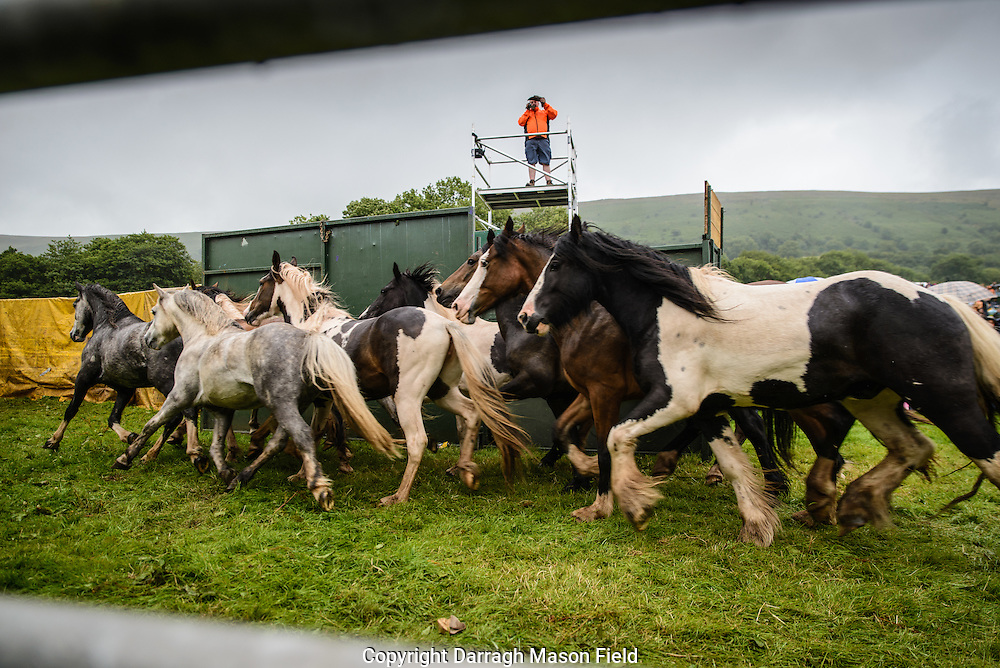 The ponies are driven back into the holding pen.