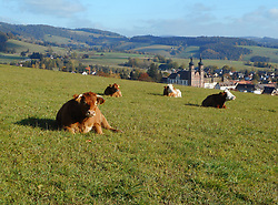 Germany, Sankt Peter  (Black Forest) - November 3, 2018.Autumn landscape with cows and church (Credit Image: © Antonio Pisacreta/Ropi via ZUMA Press)