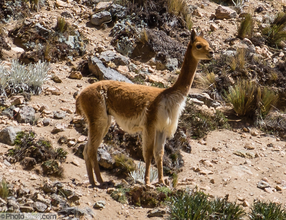 The Vicuña is the wild ancestor of domesticated alpacas, which are in the camel family. The animal is in Cuyoc Valley, on Day 5 of 9 days trekking around the Cordillera Huayhuash in the Andes Mountains, Peru, South America.