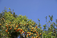 orange trees in Roquebrune Village South of France