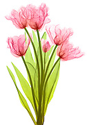 Tulips, colored X-ray.