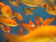 Large Comet Goldfish in an aquarium