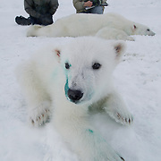 A polar bear cub begins to wake from an immobilizing drug. Dr. Steve Amstrup and assistant work on its mother in the background. The cub's lip has green dye from a tattoo that was applied to the inside of his lips. Scientists will use the tatoo to identify him in the future.