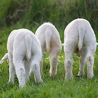 Nederland Barendrecht 5 april 2009 20090405 Foto: David Rozing ..Jonge lammetjes in de wei, lente, lenteweer.Little lambs in field in springtime..Foto: David Rozing/