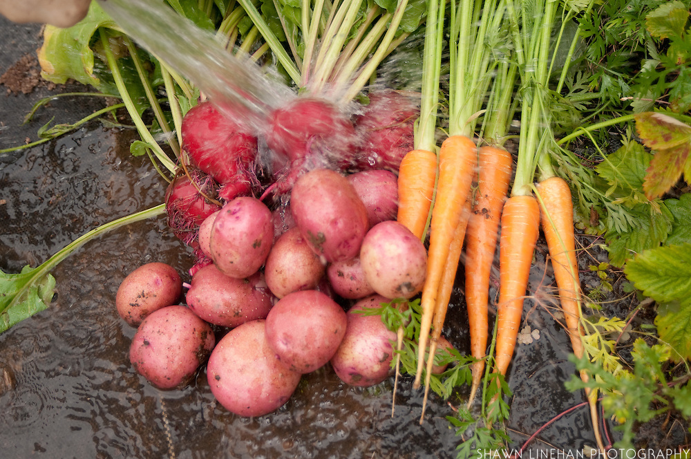 Red potatoes and carrots are washed after harvesting.