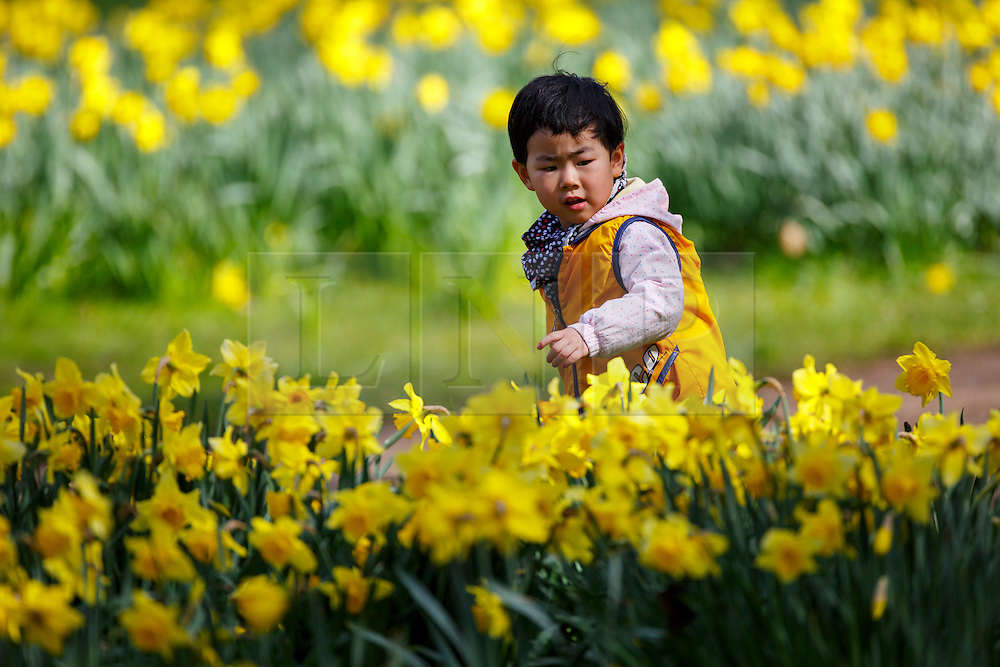 © Licensed to London News Pictures. 31/03/2016. London, UK. Children playing and enjoying sunshine in Green Park in central London on Thursday, 31 March 2016. Photo credit: Tolga Akmen/LNP