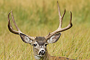 Mule deer get their name from their mule-sized ears.
