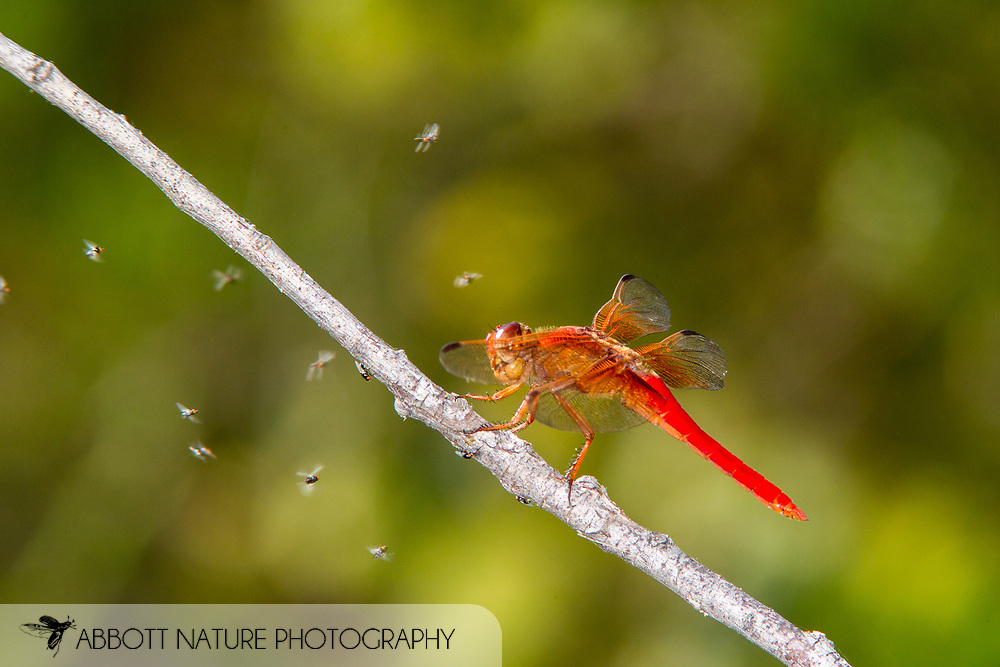 Neon Skimmer (Libellula croceipennis) - male feeding on Platypezid (Flat-footed Flies)<br /> TEXAS: Williamson Co.<br /> Rattan Creek Park<br /> Austin<br /> 2-August-2015<br /> J.C. Abbott &amp; K.K. Abbott