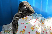 "Orphaned pup crawled for help to people<br /> <br /> head of the Center for Rehabilitation of pinnipeds Vyacheslav Alekseev, the man heard a dog barking , "" went into the yard and found this creature ."" Dog is not harmed seal pup .<br /> <br /> <br /> It is noteworthy that from home to the coast of the Gulf of not less than 100 meters, but this week pup crawled away and even found a hole in the fence. "" The seals are characterized by a strong craving for self-salvation - said Alekseev . - Were in trouble , they will actively move , shout, move long distances - see them easier. But for the ringed seal pups we fear most . They are small, unobtrusive and can just quietly die with a sad kind . ""<br /> Difficult period for pinnipeds<br /> Pup from Lebiazhi became the fourth this year in Clause patient rehabilitation pinnipeds Repin.<br /> Two pups found over the weekend near Kronstadt. They brought a storm that passed over the Gulf of Finland. Age of one of the young - about one and a half weeks. Second seal pup 2-3 days.<br /> Third seal pup found on Wednesday residents of Pine Forest - he was lying on the beach of Seaside Park . Young mother, who was walking with the stroller on the beach , said the animal specialists Rehabilitation Center of marine mammals .<br /> <br /> The current breeding season for marine life Gulf fared - due to the abnormally warm winter and the almost total absence of ice. Center staff ask residents of St. Petersburg and Leningrad region to report any sightings of young gray seal and ringed seal . The specialists are urged to citizens not to try to save their own cubs . First of all , you need not detect its presence and not to frighten the animal , and then - hour phone call to rescue seals. If necessary, they will provide professional assistance in the rehabilitation center , and then released into the sea.<br /> ©Rehabilitation Center for Marine Mammal/Exclusivepix"